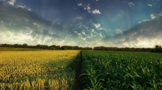 corn_wheat-2